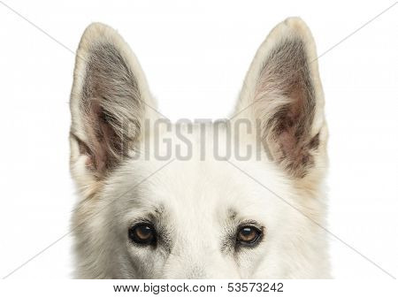 Close-up of a White Swiss Shepherd Dog's top of head, isolated on white