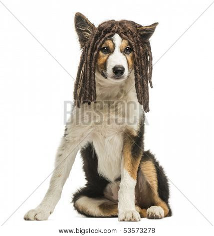 Border collie sitting with a rasta wig, isolated on white