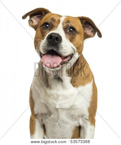 Close-up of an American Bulldog panting, isolated on white