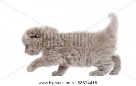 Side view of a Highland fold kitten walking, isolated on white