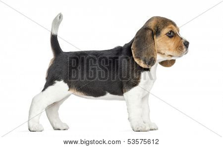 Side view of a Beagle puppy standing, isolated on white