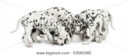 Group of Dalmatian puppies eating all together, isolated on white