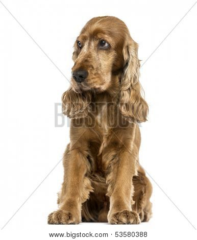 English Cocker Spaniel sitting, looking distrustful, isolated on white