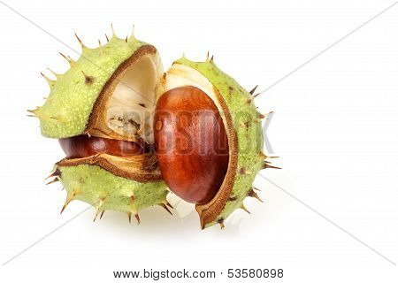 Horse Chestnut In Opened Natural Shell