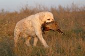 stock photo of pheasant  - a hunting yellow labrador with a pheasant in autumn - JPG
