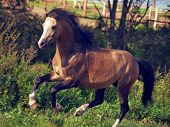 foto of buckskin  - buckskin welsh pony in motion - JPG