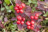 stock photo of southeast  - Macro closeup of red bunchberry fruit attached to plant on mountain on Baranof Island in southeast Alaska - JPG