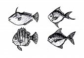 picture of loach  - an images of  hand drawn fish Vector illustration - JPG