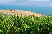 stock photo of golan-heights  - The Banana Plantation on the Golan Heights - JPG