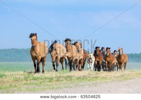 Herd of horses and foals running on the road