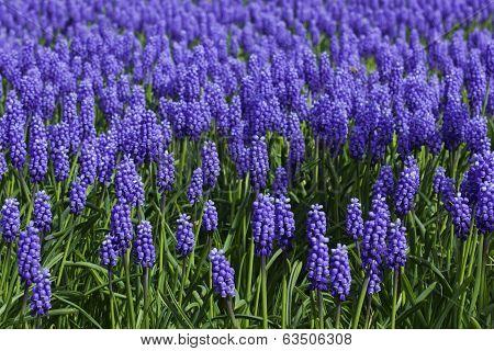 Bluebell background horizontal