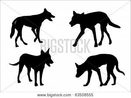 Australian Dingo's