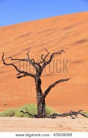 Petrified acacia tree found in Deadvlei white clay pan in Naukluft National Park, Namibia