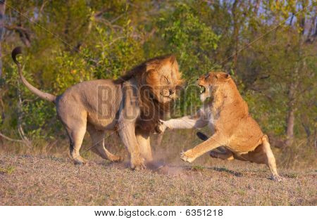 Lion (panthera Leo) And Lioness Fighting