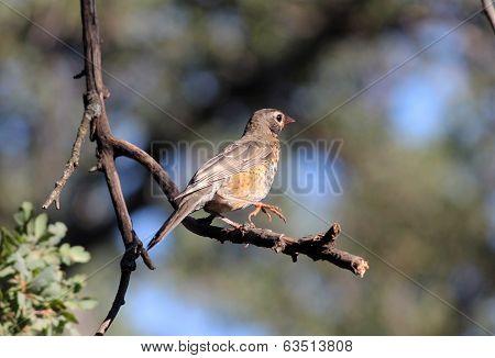American Robin (Turdus migratorius) still with juvenile plumage