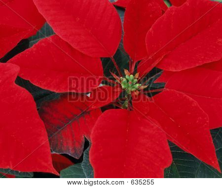 Flower - Poinsettia