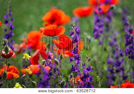 red poppies on cereal field in summer