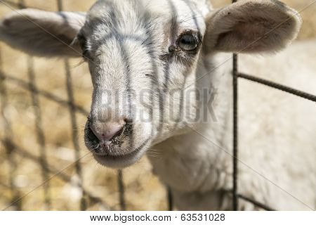 Cute Lamb Looking Through A Metal Fence