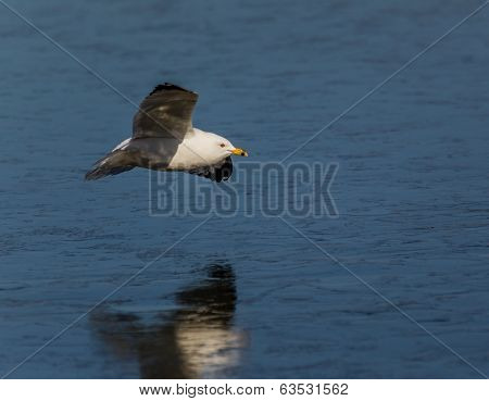Flying gull with reflection on the ice.