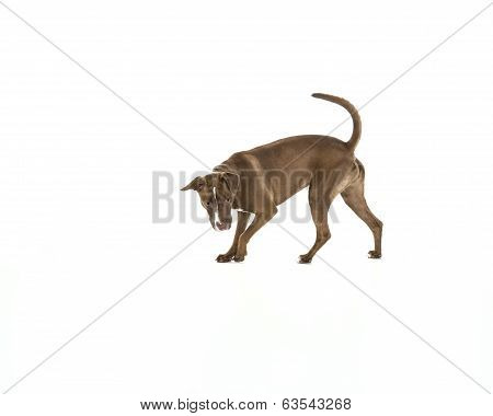 Dog Hunting or Searching Isolated on White