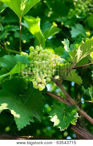 Branch Of Ripening Grapes