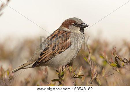 Sparrow Close Up