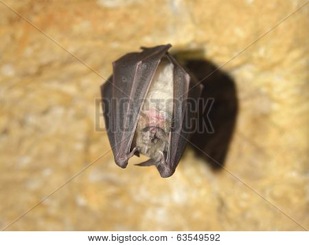 Bat (Rhinolophus hipposideros) - Lesser Horseshoe Bat