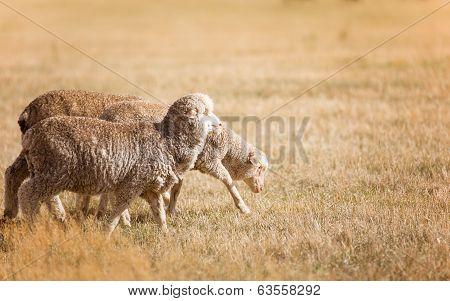 Three Merino sheep on way to shearing
