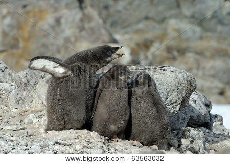 Adelie penguin (Pygoscelis adeliae) chicks