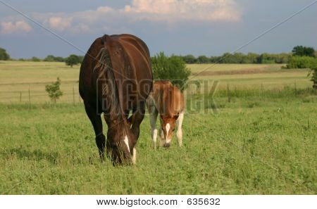 Maren And Foal Grazing
