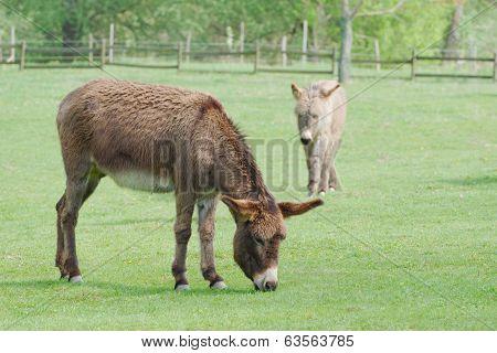 Two Donkeys Grazing