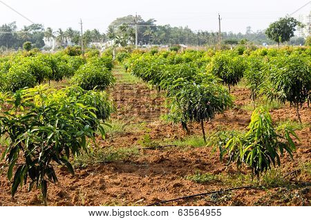 a field full of mango trees around one and half years old awaiting to grow up