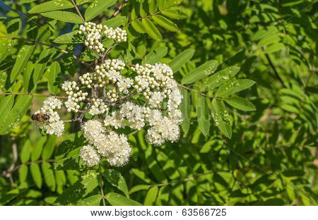 Buds And Blossoms Of A European Rowan
