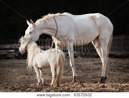 Mare And Stallion
