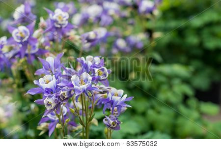 Purple And White Blooming Columbine Plants In Spring