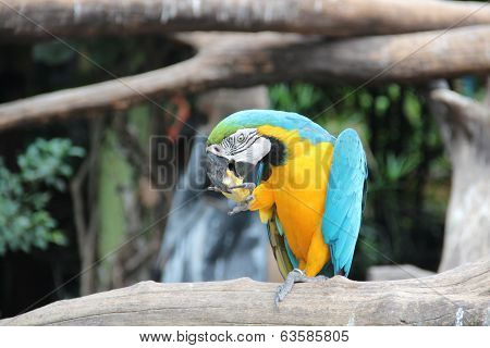 A blue and yellow macaw is eating sweet corn