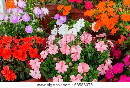 Beautiful Blooming Multicolored Impatiens Flowers In Containers