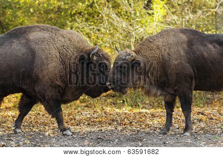 Buffaloes Sniffing Each Other