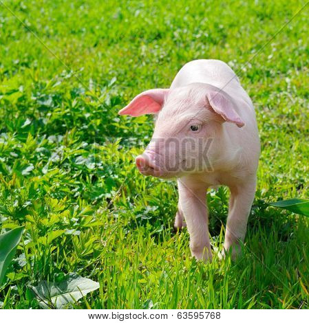 Funny Pig On A Green Grass