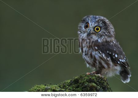 Curious Saw-Whet Owl