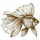 pic of goldfish  - vector illustration of engraving goldfish on white background - JPG