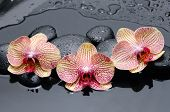 three orchid and pebbles on wet background