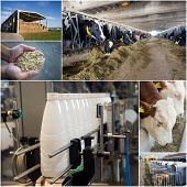 foto of dairy cattle  - Collage of dairy industry process from feeding till packaging - JPG