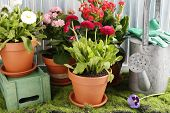 Beautiful flowers in flowerpots and gardening tools, on wooden background
