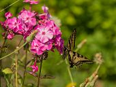 foto of butterfly-bush  - A swallowtail butterfly sitting on a butterfly bush - JPG
