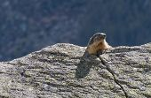 picture of marmot  - marmot looks beyond the rock - JPG