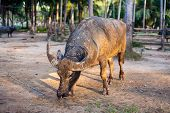 pic of carabao  - water buffalo on the sunset in Thailand - JPG