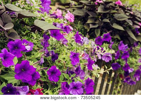 Flowerbed Of Purple Flowers On A Metal Railing In The City