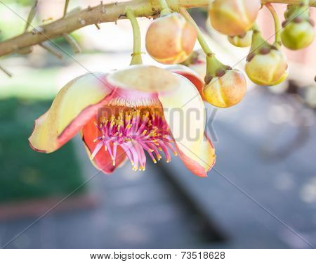 Flower Of Cannonball Tree