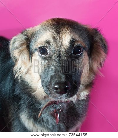 Shaggy Brown Dog On Pink